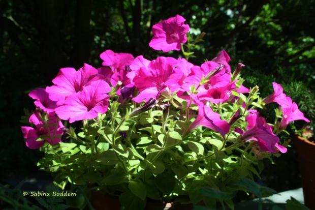 Betunien pink