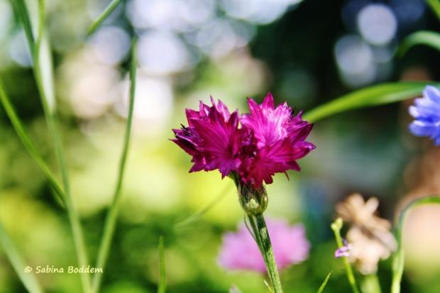 violette Wildwiesenblume