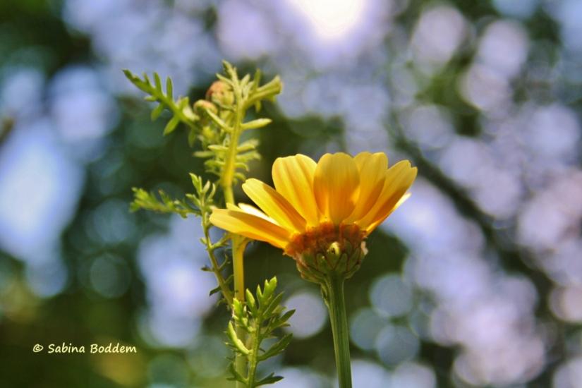 gelbe Wildwiesenblume