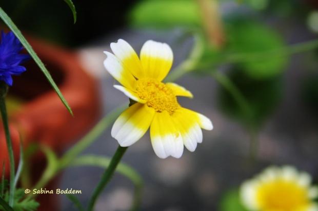 gelb-weiße Wildwiesenblume