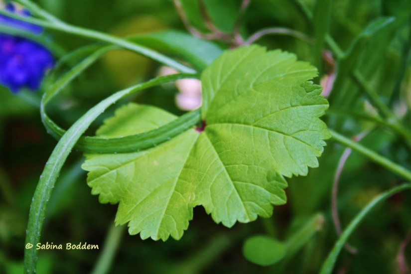 grünes Blatt - Wildwiesenblumen
