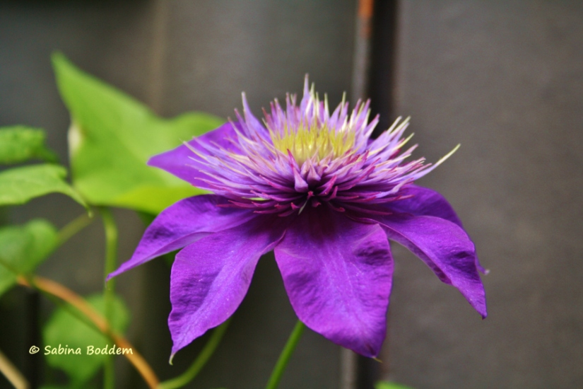 violette Clematis