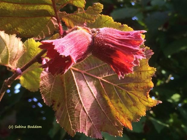 Haselnussbaumblüte - Landidylle in Elkenrade