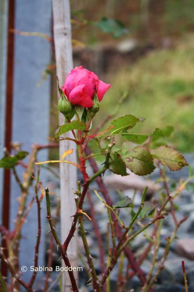 Blühende Rose im Dezember