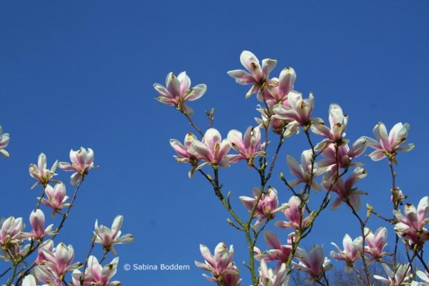 Magnolien # Farbenreich