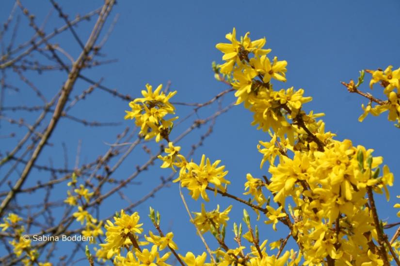 Forsythien # gelbe Blüten  # Farbenreich