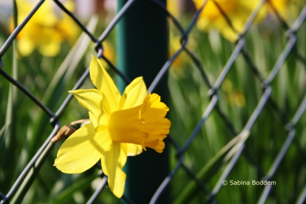 gelbe Osterglocke # Farbenreich