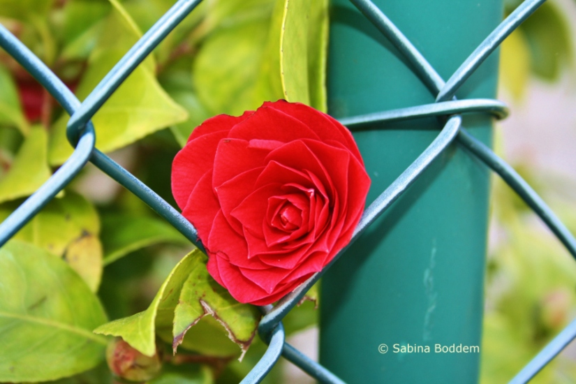 rote Rose # Farbenreich