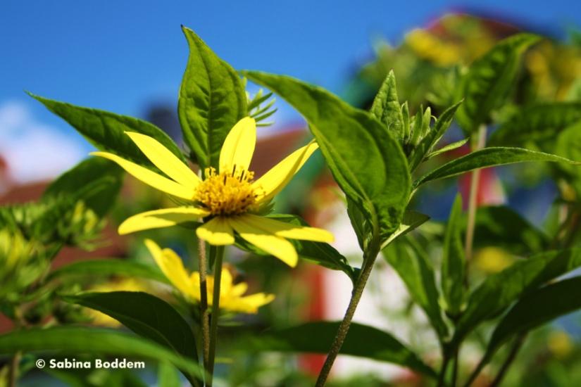 #Naturfotografie #Blume #Gelb #gelbeBlume