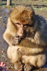 Berberaffen im Affen- und Vogelpark Eckenhagen