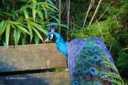 Pfau, Bunte Vogelwelt im Affen- und Vogelpark Eckenhagen