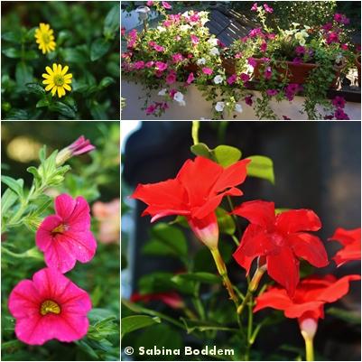 Sommertopfblumen