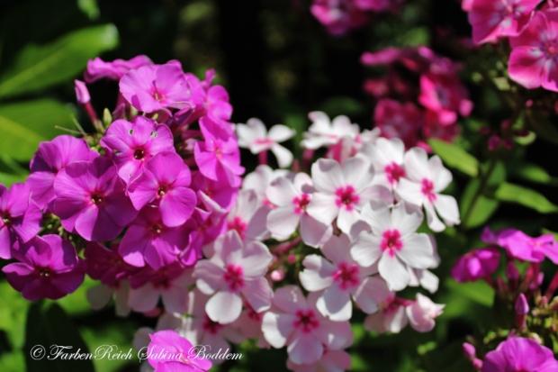 Blumen in der Schrebergartenanlage in Ratingen - Hortensien