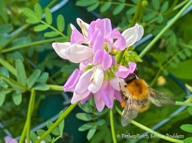 Hummel auf Blume (4)