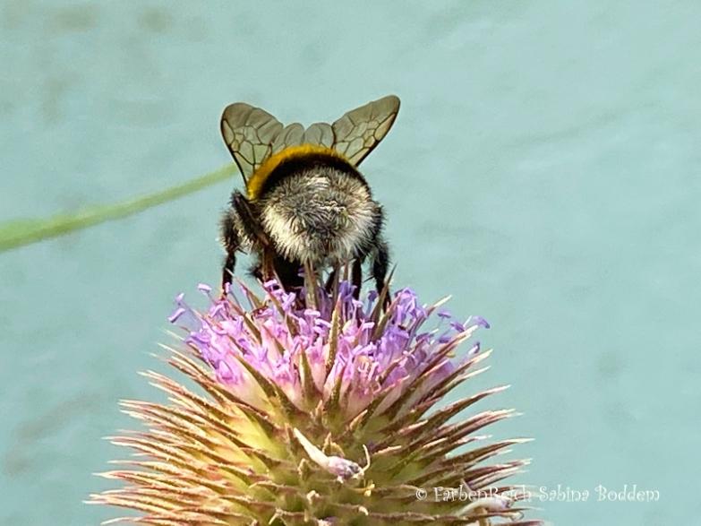 Hummel auf Blume (5)
